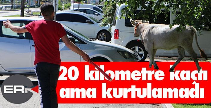 Boğa 20 kilometre koşturdu...